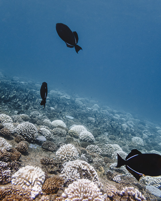Fishes and corals in Fitii's Wall with Mahana dive in Huahine with Mahana dive by Dancing the Earth