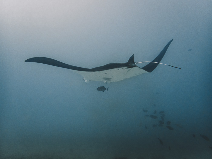 Manta ray in Maupiti with Maupiti diving by Dancing the Earth