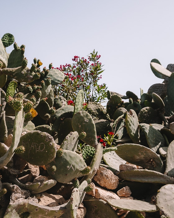 cactus on our way to St Peter's Pool by Dancing the Earth