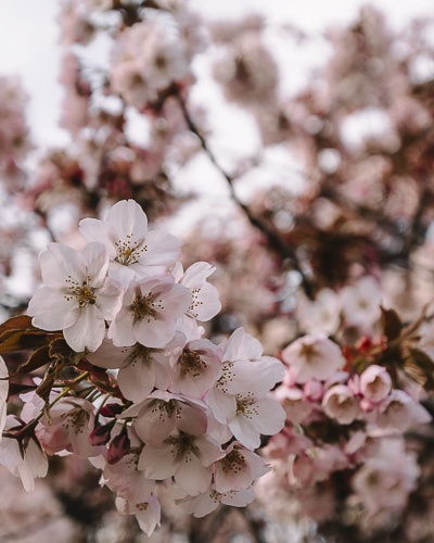 Cherry blossoms in Jardin des Plantes by Dancing the Earth