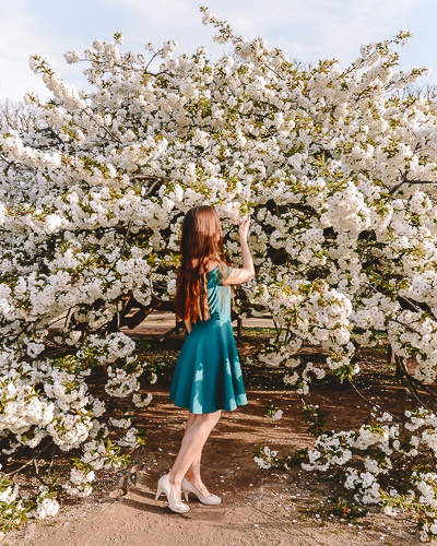 Spring in Paris white cherry blossoms tree at Jardin des Plantes by Dancing the Earth