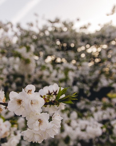 White cherry blossoms at Jardin des Plantes by Dancing the Earth