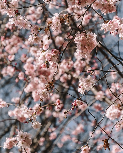 Cherry blossoms at Parc Monceau by Dancing the Earth