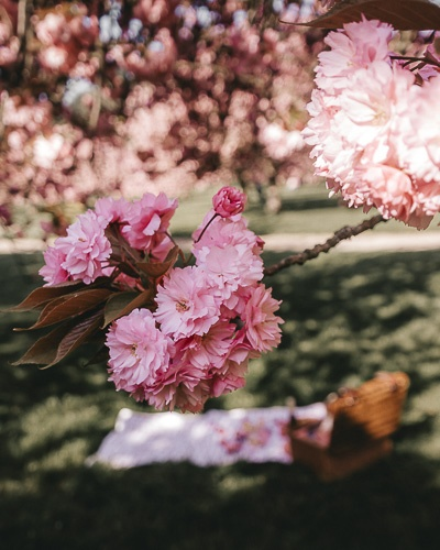 Kanzan cherry blossoms of Parc de Sceaux by Dancing the Earth