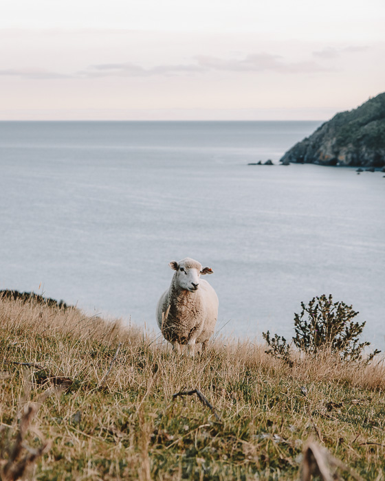 Sheep in Cable Bay, Dancing the Earth